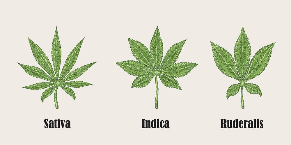 Cannabis sativa, indica and ruderalis missionorganiccenter