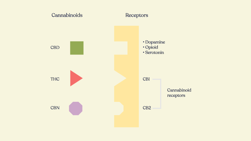 cannabis cannabinoids and receptor interaction by honahlee